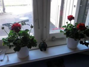 Pelargoner och en groda i köksfönstret